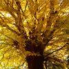 黄金色のイチョウの葉がひしめく