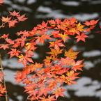 CANON Canon EOS 50Dで撮影した風景(渓流のもみじ)の写真(画像)