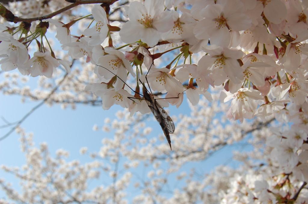 桜の匂いに誘われて…