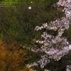 桜 舞い散る…