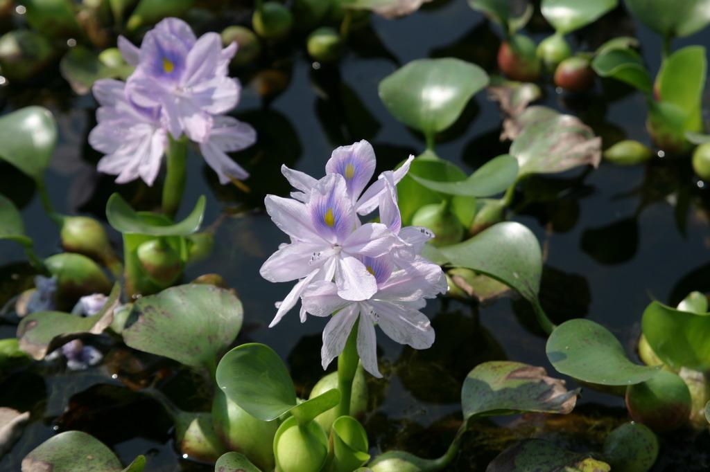 ホテイアオイの花が咲きました