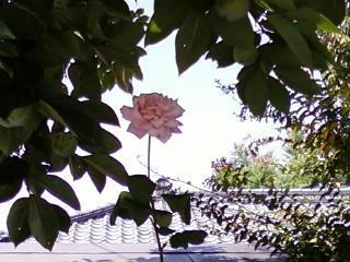 ヘビーピンク バラ