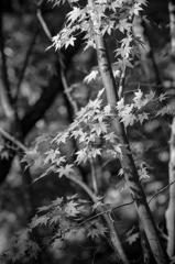 モノクロ紅葉