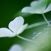 紫陽花 ④