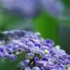 紫陽花 ⑥