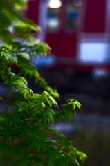 新緑のモミジ
