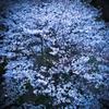 お散歩桜 #7