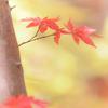 パステルな紅葉 ②