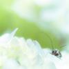 紫陽花 〜淡い〜