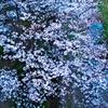 お散歩桜 #8