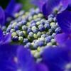 紫陽花 〜蕾〜