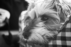 my pretty dog # 130