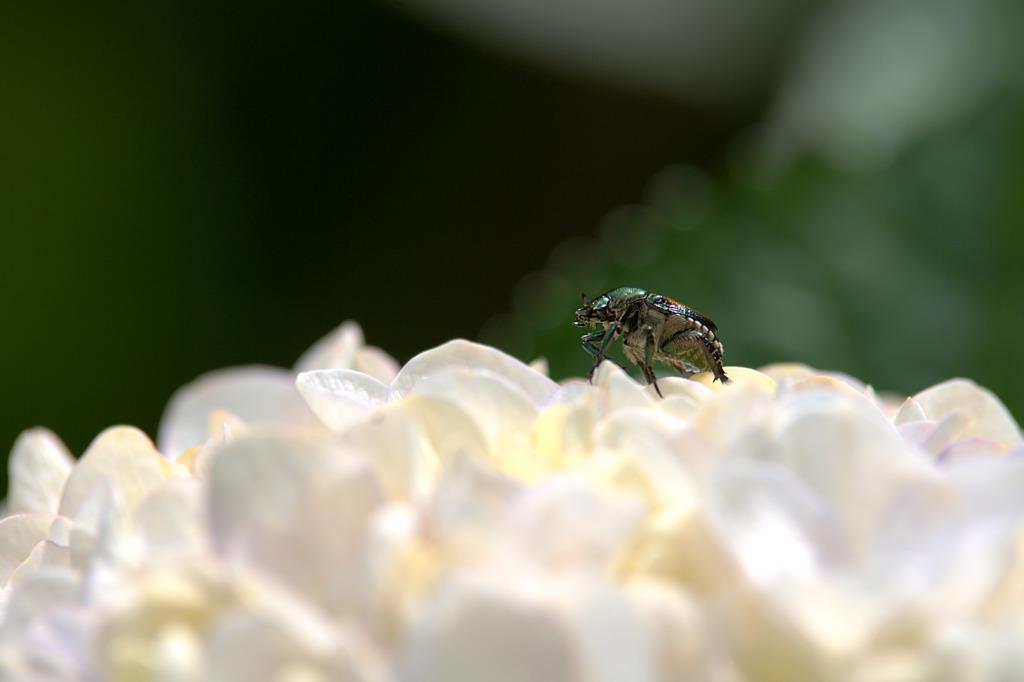 紫陽花ウォーク