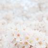 お散歩桜 #12