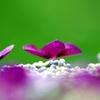 紫陽花 ③