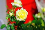 黄色い薔薇の花言葉は