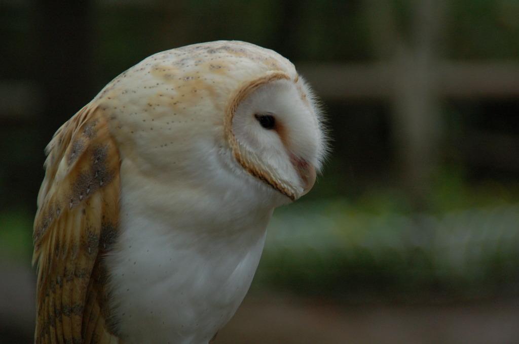 フクロウ 1
