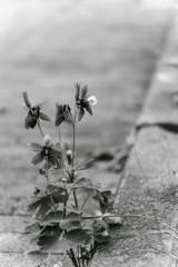 路傍に咲く