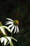 Echinacea purpurea Ⅲ