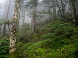Rainy North Yatsugatake Forest Ⅱ