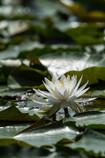 lotus Ⅳ