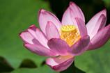 lotus Ⅱ