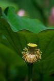 lotus Ⅴ