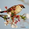 桜&スズメ