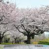 桜絨毯03