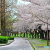 桜絨毯01
