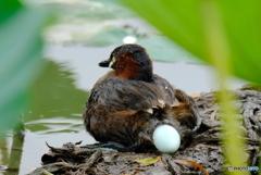 カイツブリ産卵①