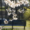 桜を見に来てね(^^