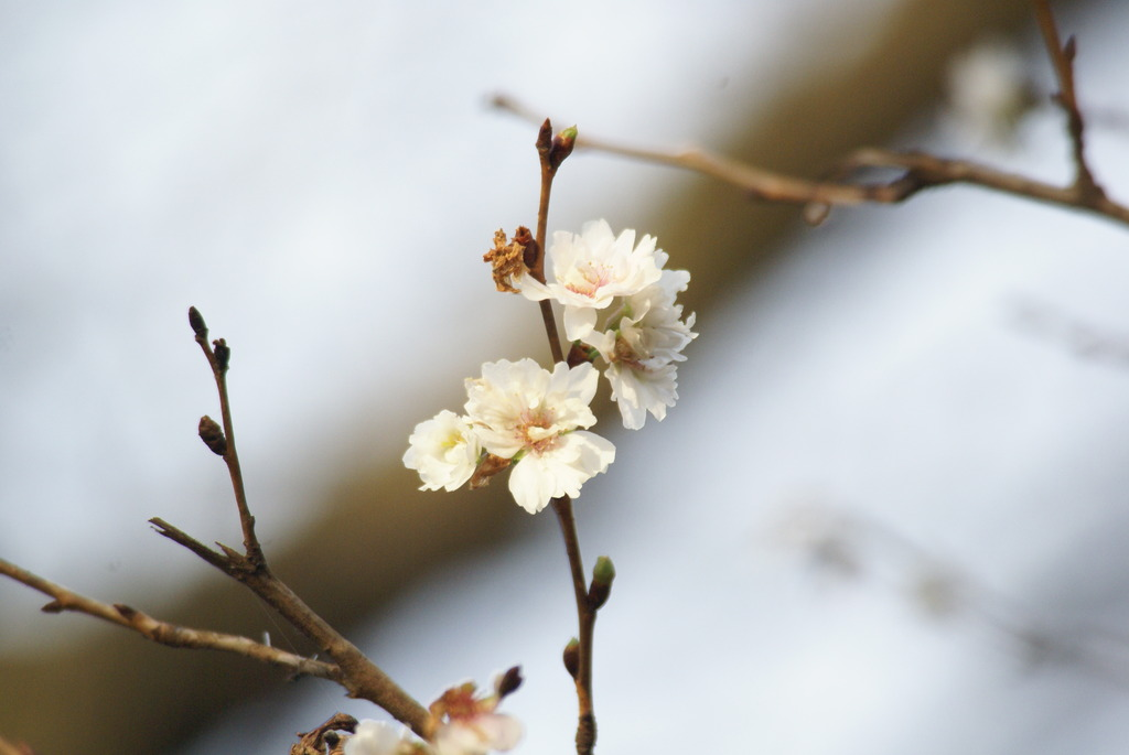 十月桜 ~朝日を浴びて~
