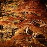 SONY DSLR-A100で撮影した風景(紅葉 ~威厳~)の写真(画像)