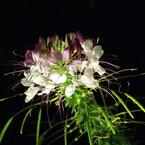 SONY DSLR-A100で撮影した植物(西洋風蝶草)の写真(画像)