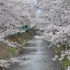 どこまでも続く桜