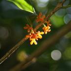 SONY DSLR-A100で撮影した植物(金木犀)の写真(画像)