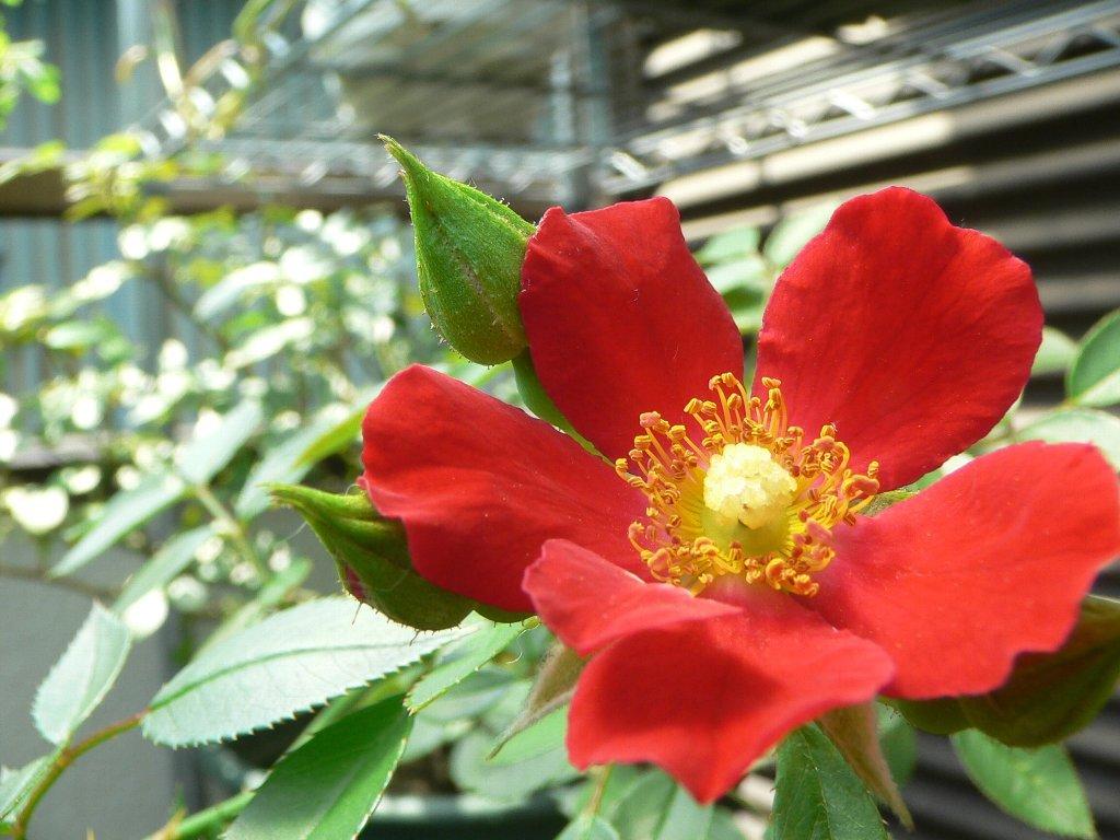 一重の赤いバラ