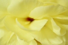 レモンイエローの牡丹の花びら