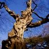 アカシデの巨樹、寒空に映え。