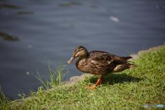 水辺の草を見つめる鴨さん