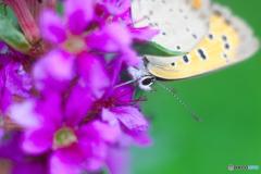 蝶と花と蜜と
