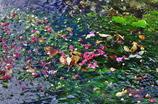 地蔵川の梅花藻