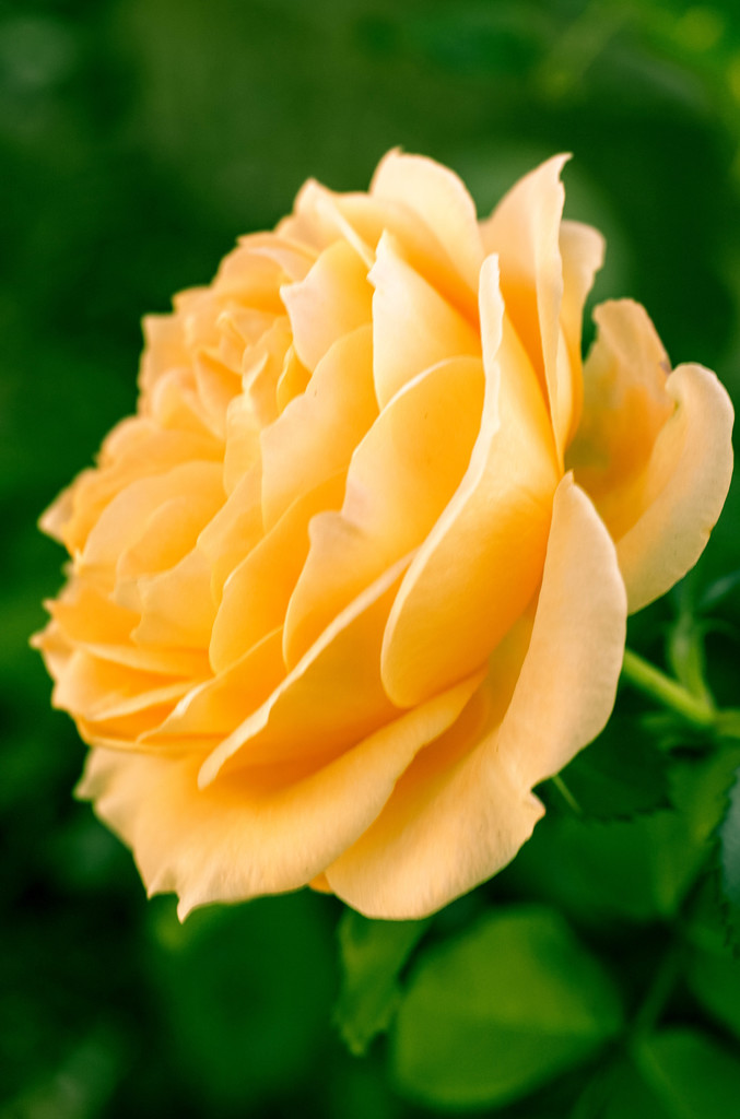 There is a yellow rose.