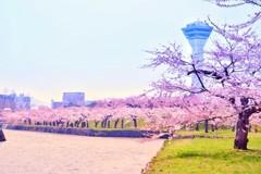 函館 五稜郭 桜 4