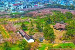 函館 五稜郭 桜 5