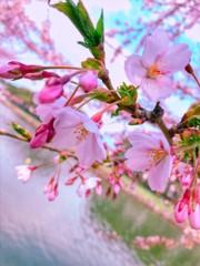 函館 五稜郭 桜 1