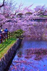 函館 五稜郭 桜 3