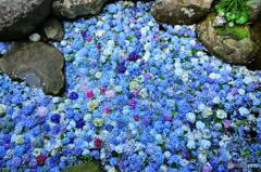 池の中の紫陽花