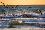 夕陽を浴びるカモメ達